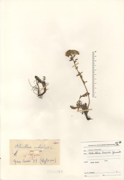 Achillea nobilis L. subsp. nobilis