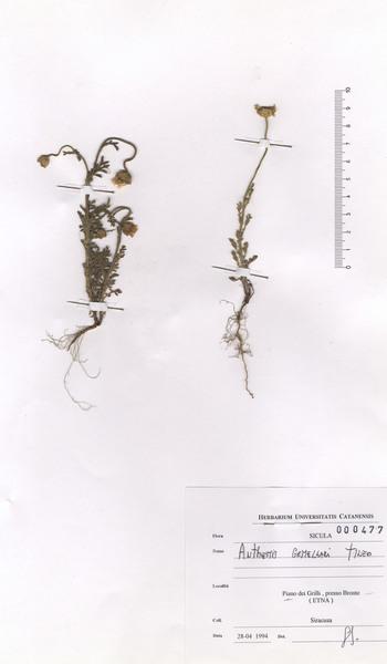 Anthemis arvensis L. subsp. incrassata (Loisel.) Nyman