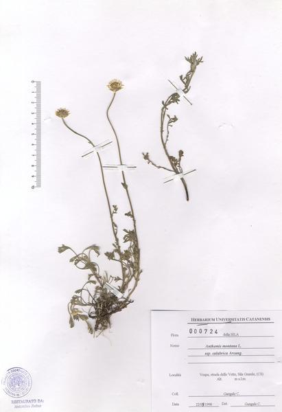 Anthemis cretica L. subsp. calabrica (Arcang.) R.Fern.