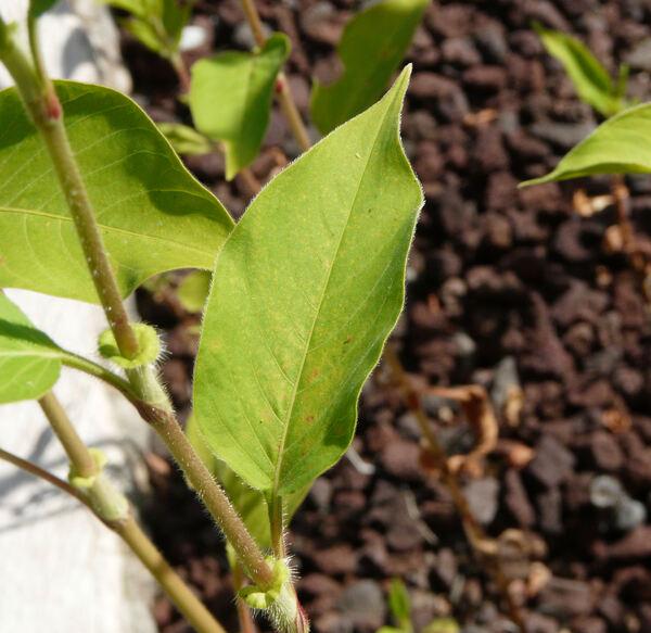 Persicaria orientalis (L.) Spach
