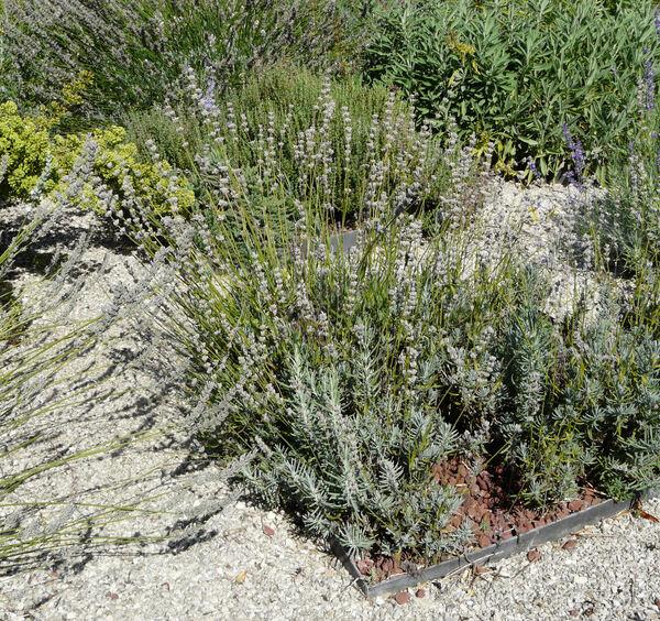 Lavandula angustifolia Mill. 'Nana Alba'
