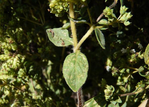 Origanum majorana L.