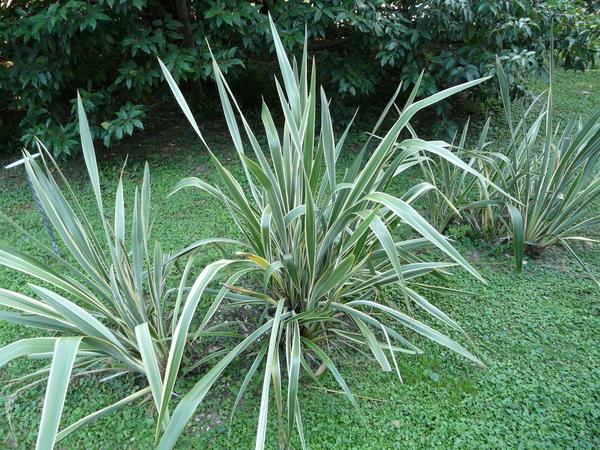 Phormium tenax J.R. Forst. & G. Forst. 'Variegatum'
