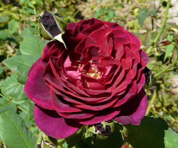 Rosa 'Astrid Grafin von Hardenberg'