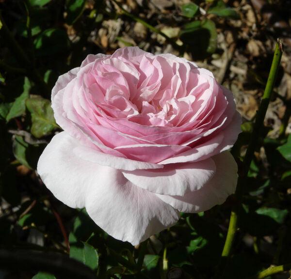 Rosa 'Gartenträume'