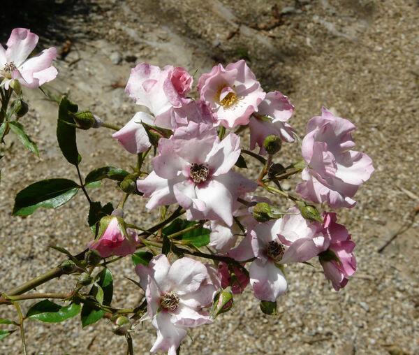 Rosa 'Antares ®'