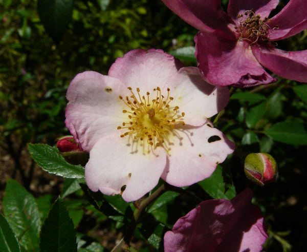 Rosa 'Plaisanterie'