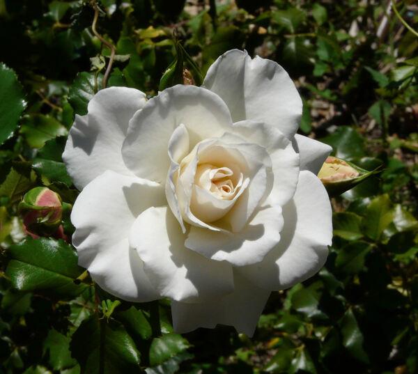 Rosa 'Petticoat'