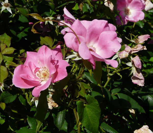 Rosa 'Pink Knock Out ®'
