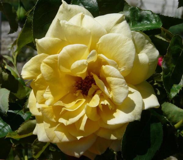 Rosa 'Arlene Francis'