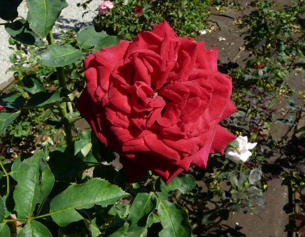 Rosa 'Impulse ®'