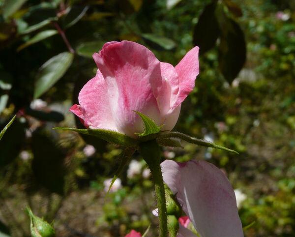 Rosa 'Rush ®'