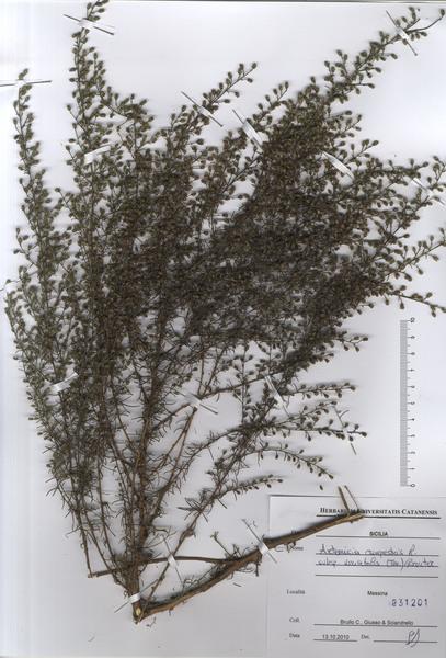 Artemisia campestris L. subsp. variabilis (Ten.) Greuter