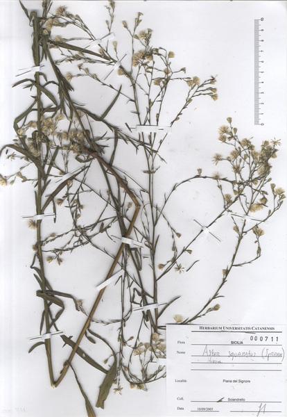 Symphyotrichum squamatum (Spreng.) G.L.Nesom