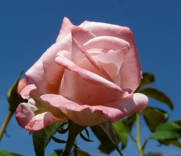 Rosa 'New Zealand'