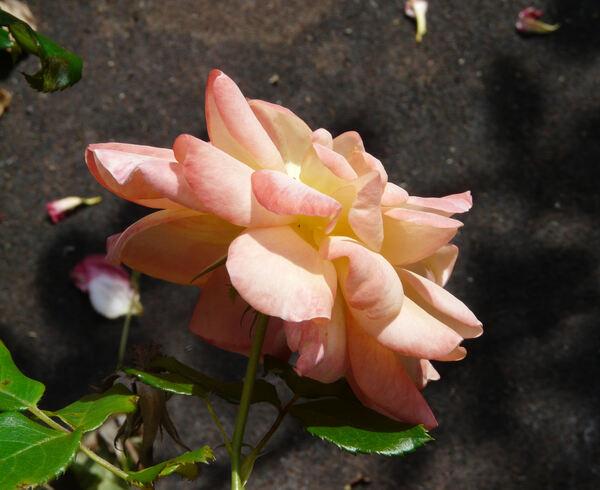 Rosa 'Samaritan'