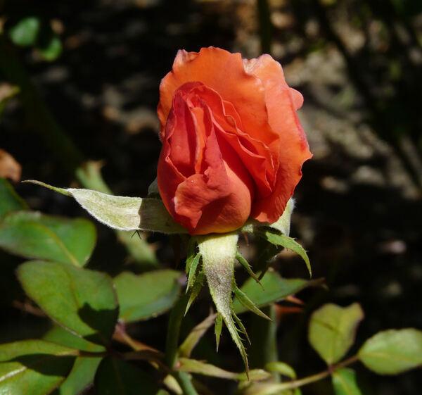 Rosa 'Cristoforo Colombo'