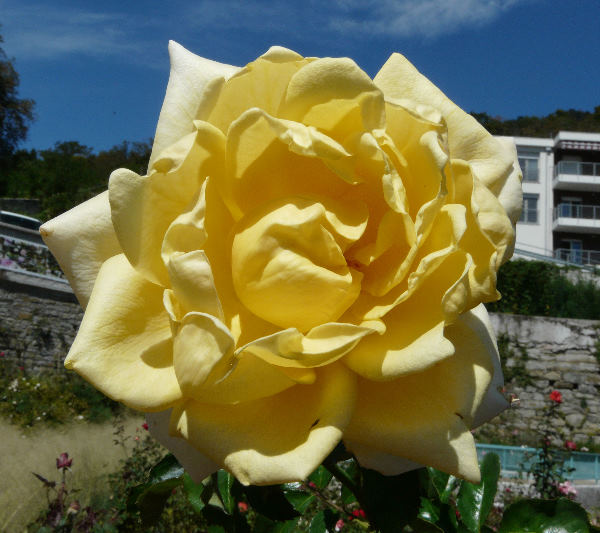 Rosa 'Berolina'