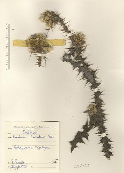 Carduus sardous DC.