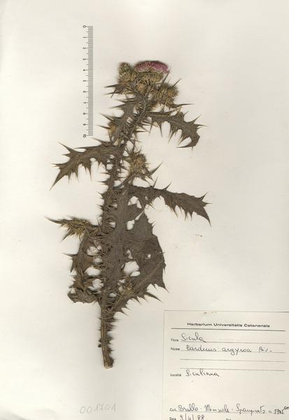 Carduus argyroa Biv.