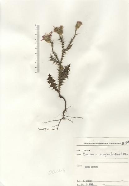 Carduus corymbosus Ten.