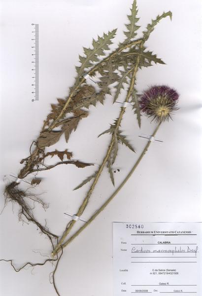 Carduus nutans L. subsp. scabrisquamus Arènes
