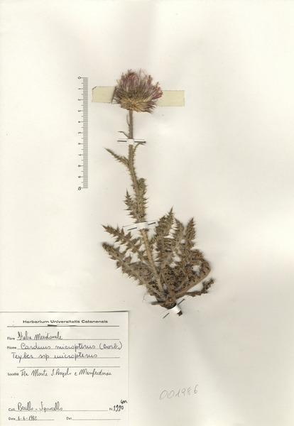 Carduus nutans L. subsp. micropterus (Borbás) Hayek