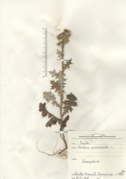 Carduus pycnocephalus L. subsp. pycnocephalus