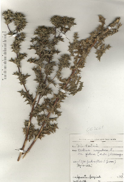 Carlina hispanica Lam. subsp. globosa (Arcang.) Meusel & Kästner