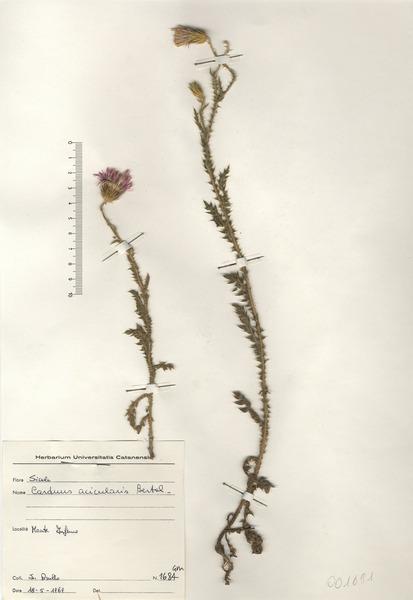 Carduus acicularis Bertol.