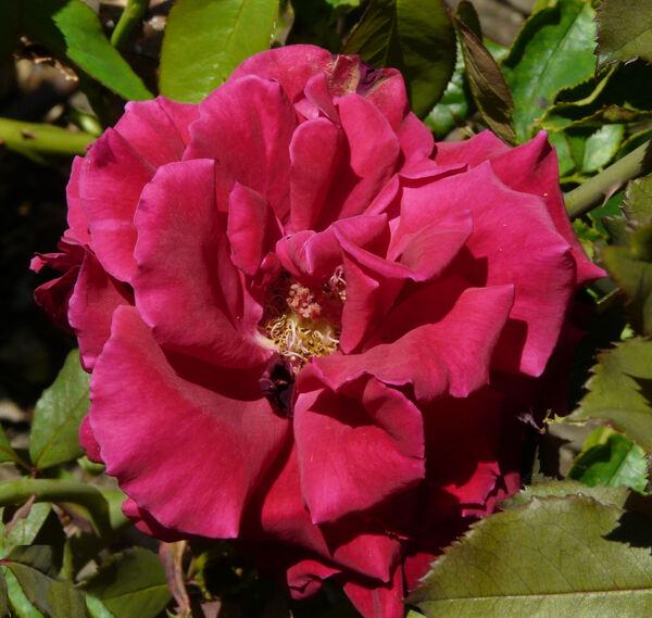 Rosa 'Velvet Fragrance'