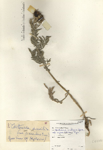Centaurea ambigua Guss.
