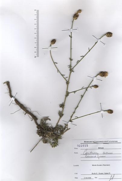 Centaurea gussonei Raimondo & Spadaro