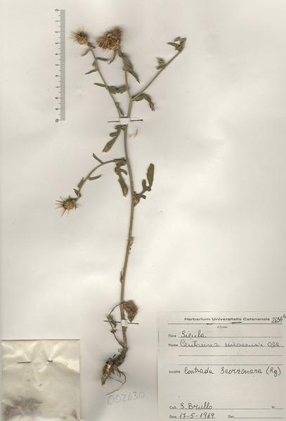 Centaurea sicula L.