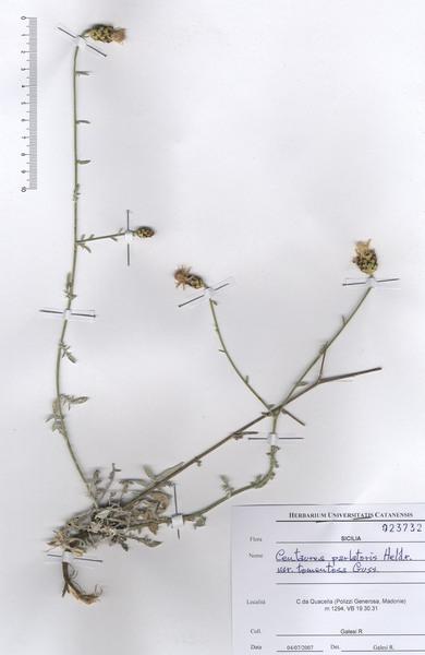 Centaurea parlatoris Heldr. subsp. parlatoris