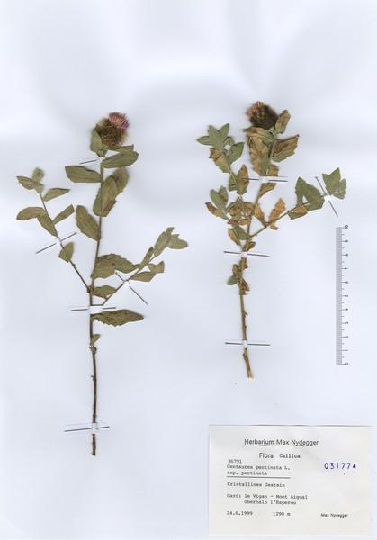 Centaurea pectinata L.