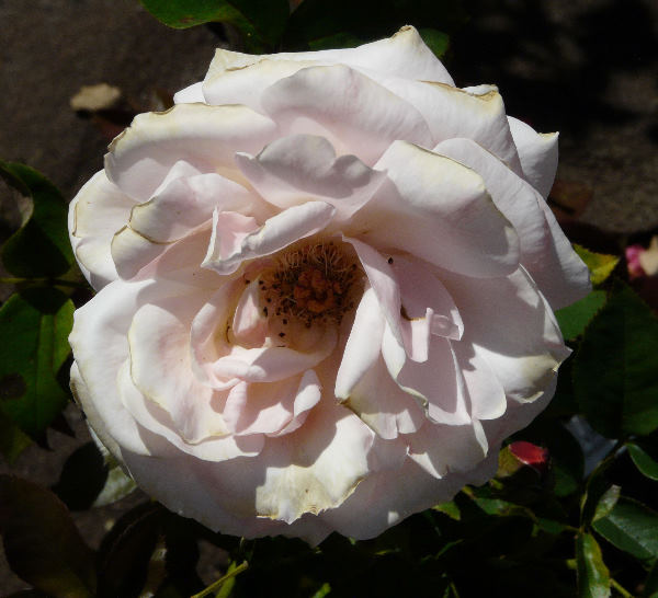 Rosa 'Reconciliation'
