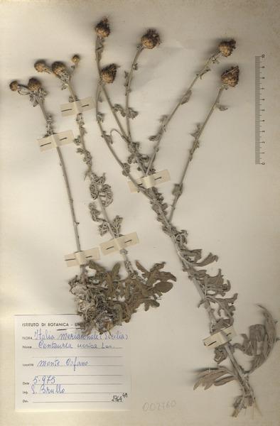 Centaurea panormitana Lojac.