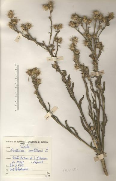 Centaurea melitensis L.