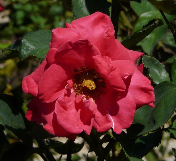 Rosa 'André Pernet'