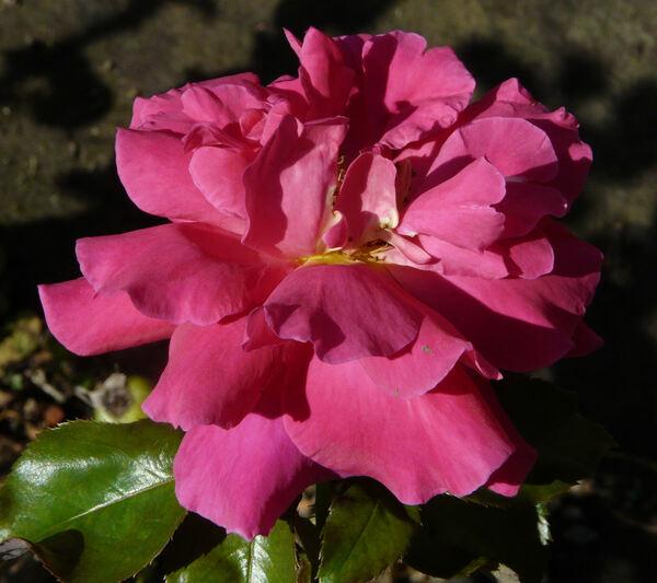 Rosa 'Big Daddy ®'