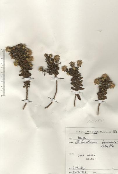 Chiliadenus bocconei Brullo