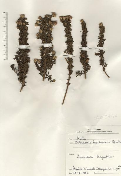 Chiliadenus lopadusanus Brullo