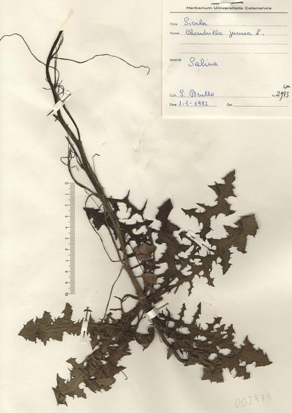 Chondrilla juncea L.