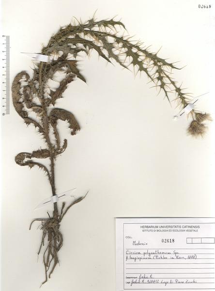 Cirsium creticum (Lam.) d'Urv.