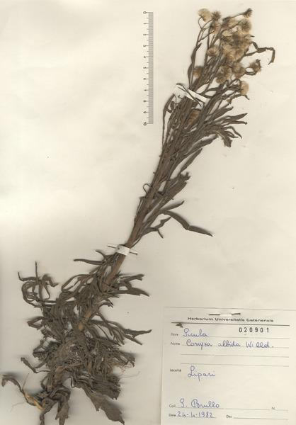 Erigeron sumatrensis Retz.