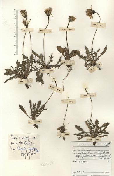 Crepis aurea (L.) Cass. subsp. glabrescens (Caruel) Arcang.