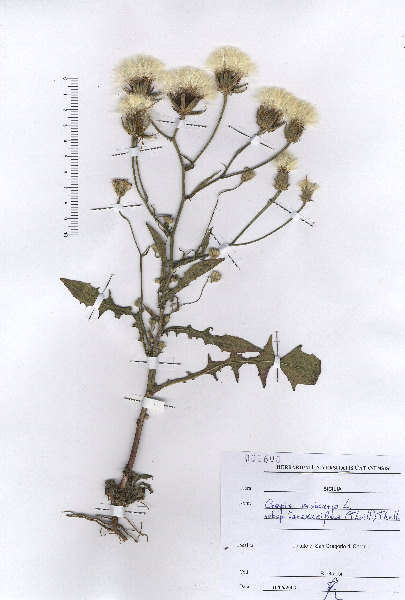 Crepis taraxacifolia Thuill.