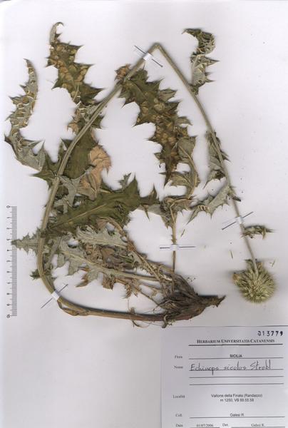 Echinops siculus Strobl