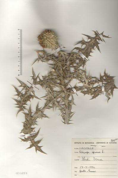 Echinops spinosissimus Turra subsp. spinosus Greuter